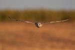 <b>Kerecsensólyom <i>(Falco cherrug)</i></b>