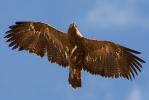 <b>Steppe Eagle <i>(Aquila nipalensis)</i></b>