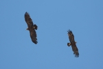 Adult pair of Steppe Eagles
