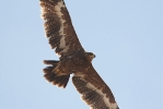 Immature Steppe Eagle