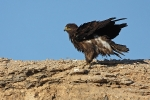 Adult Steppe Eagle.