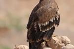 2nd cy Steppe Eagle.