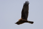 Juvenile  Marsh Harrier.