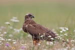 2cy male Marsh Harrier.