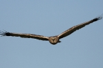 Adult male Marsh Harrier.