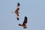 Western Marsh Harrier adult female and adult male.