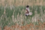 Adult male Marsh Harrier