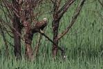 Adult female Marsh Harrier