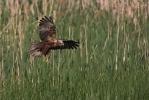 Adult female Marsh Harrier.