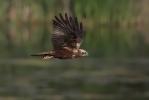Adult female Marsh Harrier.