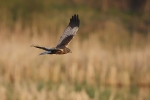 Adult male Marsh Harrier.