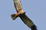First adult male Marsh Harrier.