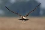 <b>Western Marsh Harrier <i>(Circus aeruginosus)</i></b>
