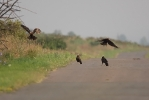 Young Marsh Harriers.