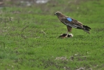 Subadult male Marsh Harrier.