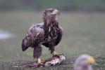 3rd plumage