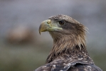 <b>White-tailed Eagle <i>(Haliaeetus albicilla)</i></b>