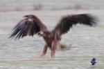 Eagle impression