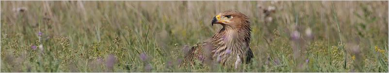 Fiatal parlagi sas – Young Eastern Imperial Eagle